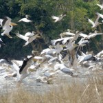 Pelicans, Kafue, Zambia, 2006